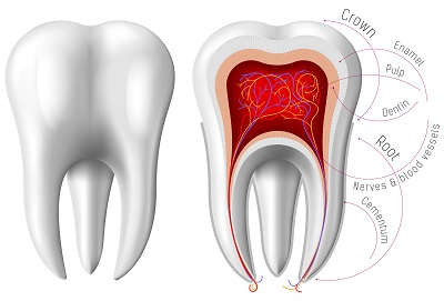 Image of the anatomy of a tooth