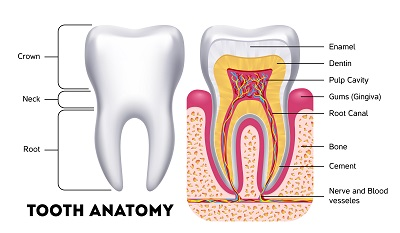 Tooth anatomy vector dental infographics.