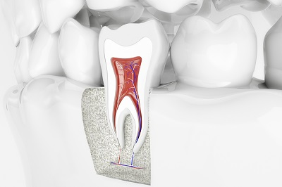 anatomy of healthy tooth in 3d