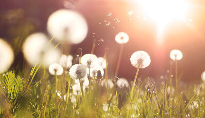 dandelions glow in the rays of sunlight at sunset in nature